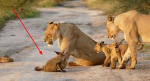 Levy našli poranené mláďa líšky a zachovali sa naozaj netradične