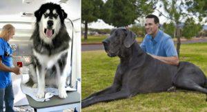 Psy, ktoré sú niekoľkokrát väčšie ako ich majitelia. Pohľad na tieto fotografie vyčarí úsmev na tvári